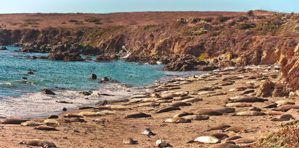 Piedras-Elephant-Seal-Rookery-San-Simeon-Central-Coast-California